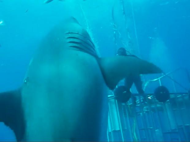 Le plus grand requin blanc jamais filmé dans Top 14 des choses insolites les plus grosses du monde